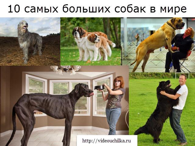 10 самых больших собак в мире